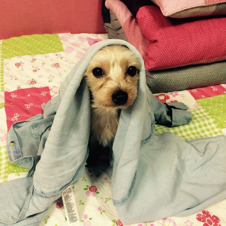 Adorable Dog Mypet Lovely Dog Yorkie Loving Life  Messybaby Cute Pets Dogoftheday Dog Life On My Bed Comfy  Cosy Fluffy Eyes Watching You