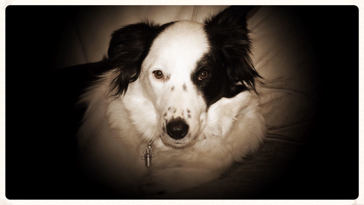Pets Dog Looking At Camera One Animal Portrait Domestic Animals Mammal Animal Themes Animal Head  Relaxation Close-up Indoors  No People Border Collie Lily May Parker Lilymayparker.blogspot.be Lily May Collection Animallovers