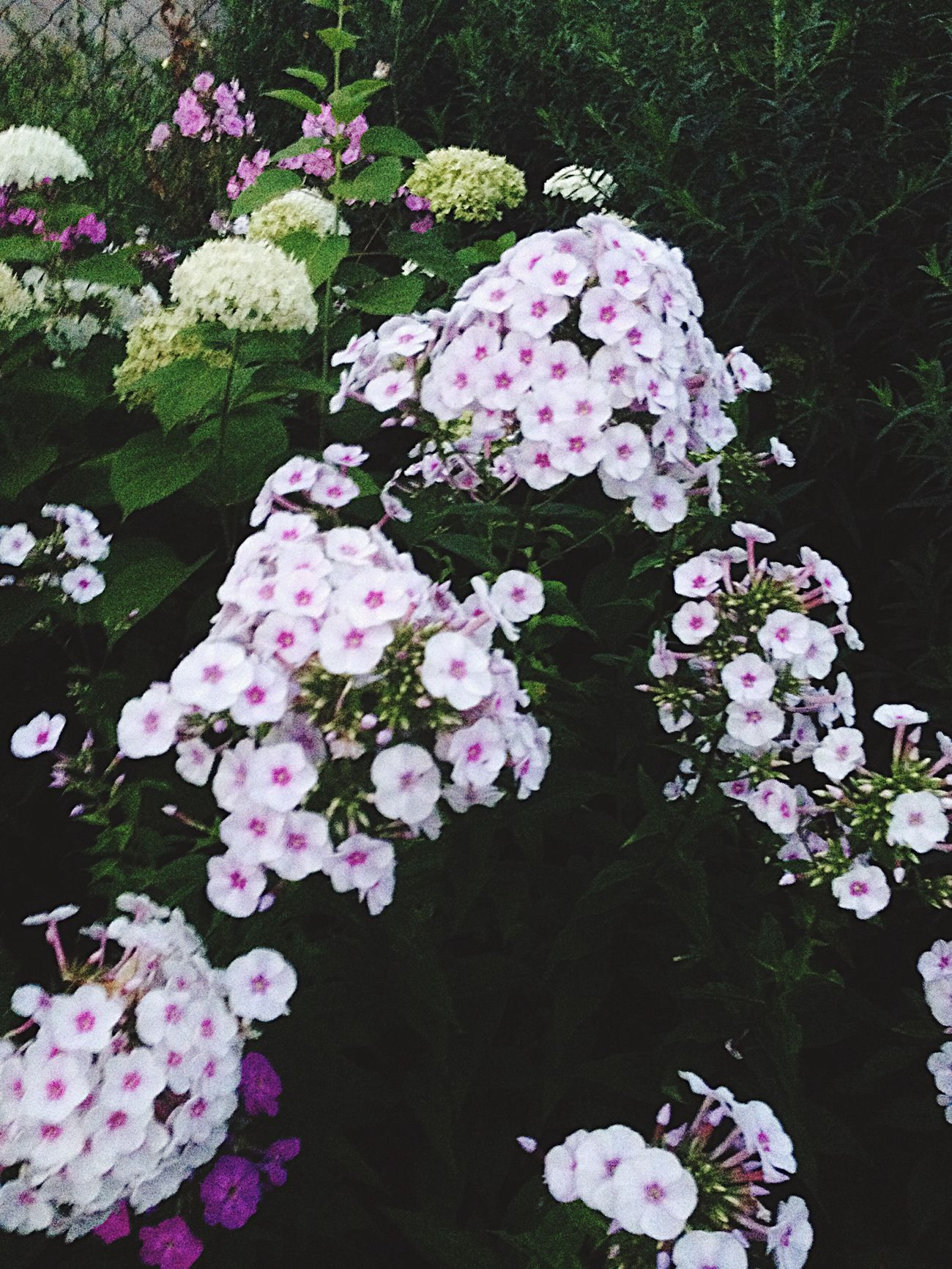 гартензия флокс Town Love Flowers лето Night #stars #nature #sky #clouds #photo #amazing #germany #brandenburg Summer Summer #summertime #sun #TagsForLikes.com #hot #sunny #warm #fun #beautiful #sky #clearskys #season #seasons #instagood #instasummer #photooftheday #nature #TFLers #clearsky #bluesky #vacationtime #weather #summerweather #sunshine #summertimeshine (null)Flower