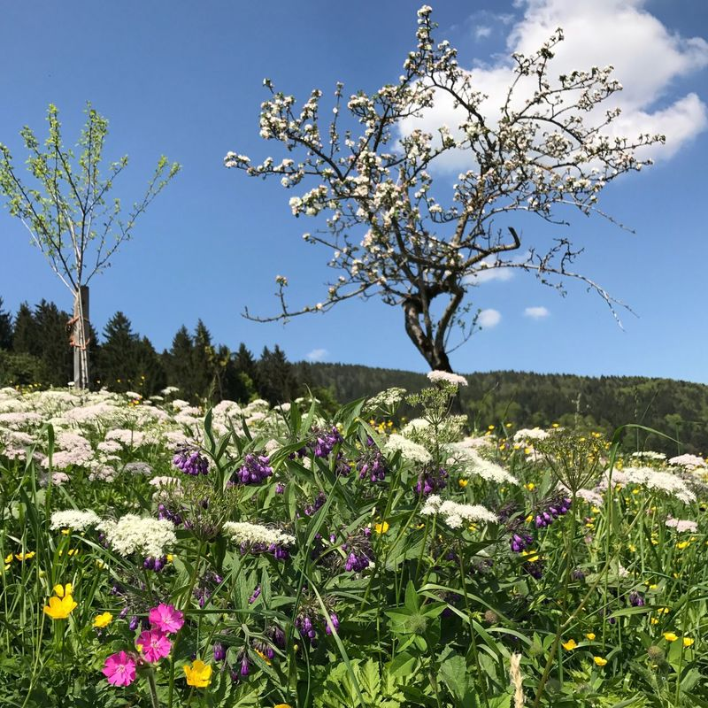 Flower Nature Beauty In Nature Growth Tree Fragility Day No People Tranquility Landscape Outdoors Plant Field Freshness Scenics Sky Clear Sky Branch Blooming Springtime Gaisberg Austria Salzburger Land Salzburg, Austria Tree Flower Head