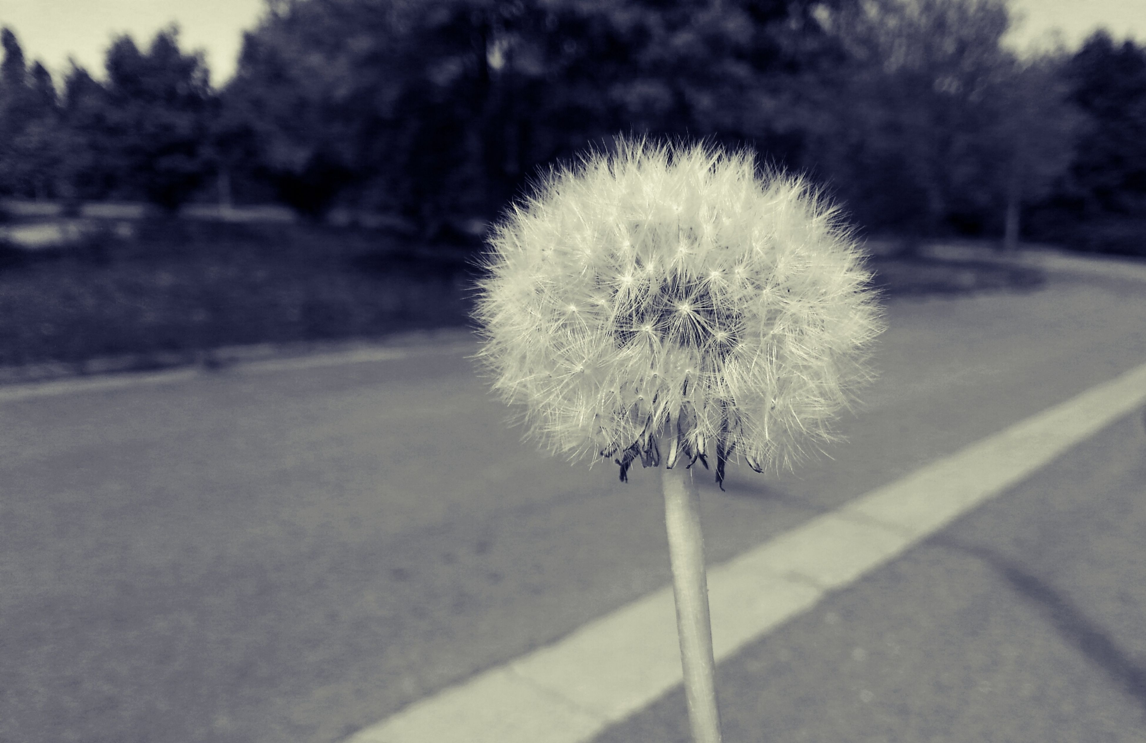 flower, dandelion, fragility, growth, flower head, freshness, focus on foreground, beauty in nature, nature, single flower, close-up, stem, white color, softness, plant, outdoors, day, in bloom, no people, tree
