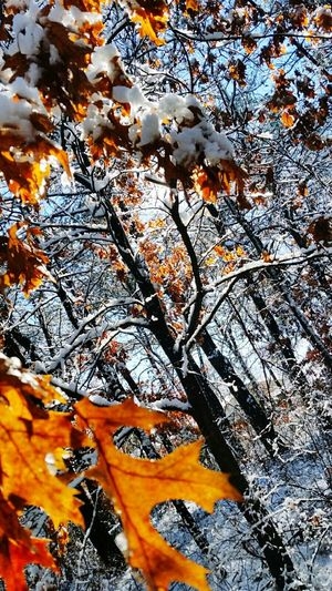 Snow ❄ Beauty In Nature Snow Day Beautiful Taking Photos Beaty Hello World Woods Trees Fall Season Fall Colors Fall Leaves