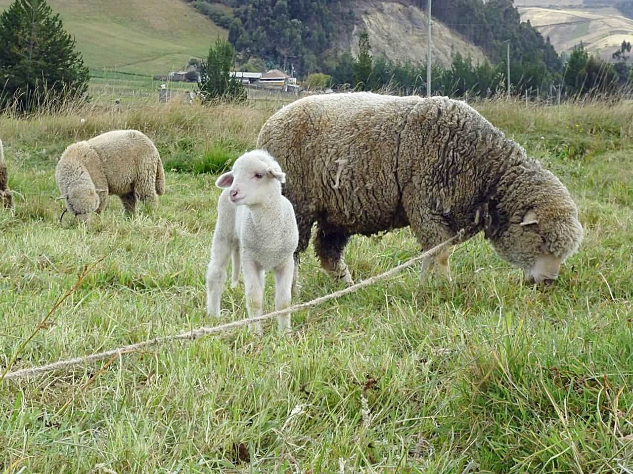Oveja Sheep Green Color Animal Themes Nature Beauty In Nature Naturaleza Cordero