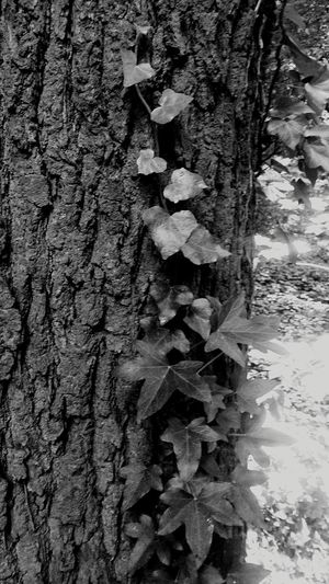 Ivy League Tree Tree Trunk Tree Bark Textures And Surfaces Ivy On Trees Ivy Black And White Photography Brunswick Braunschweig