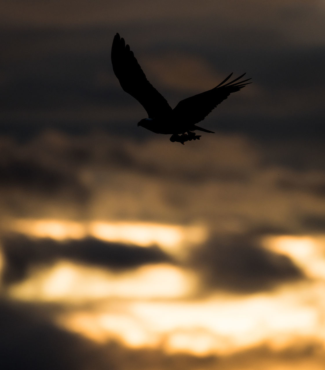 sunset, bird, flying, animals in the wild, nature, one animal, spread wings, animal themes, animal wildlife, silhouette, mid-air, beauty in nature, no people, sky, outdoors, motion, water, sea, day, bird of prey