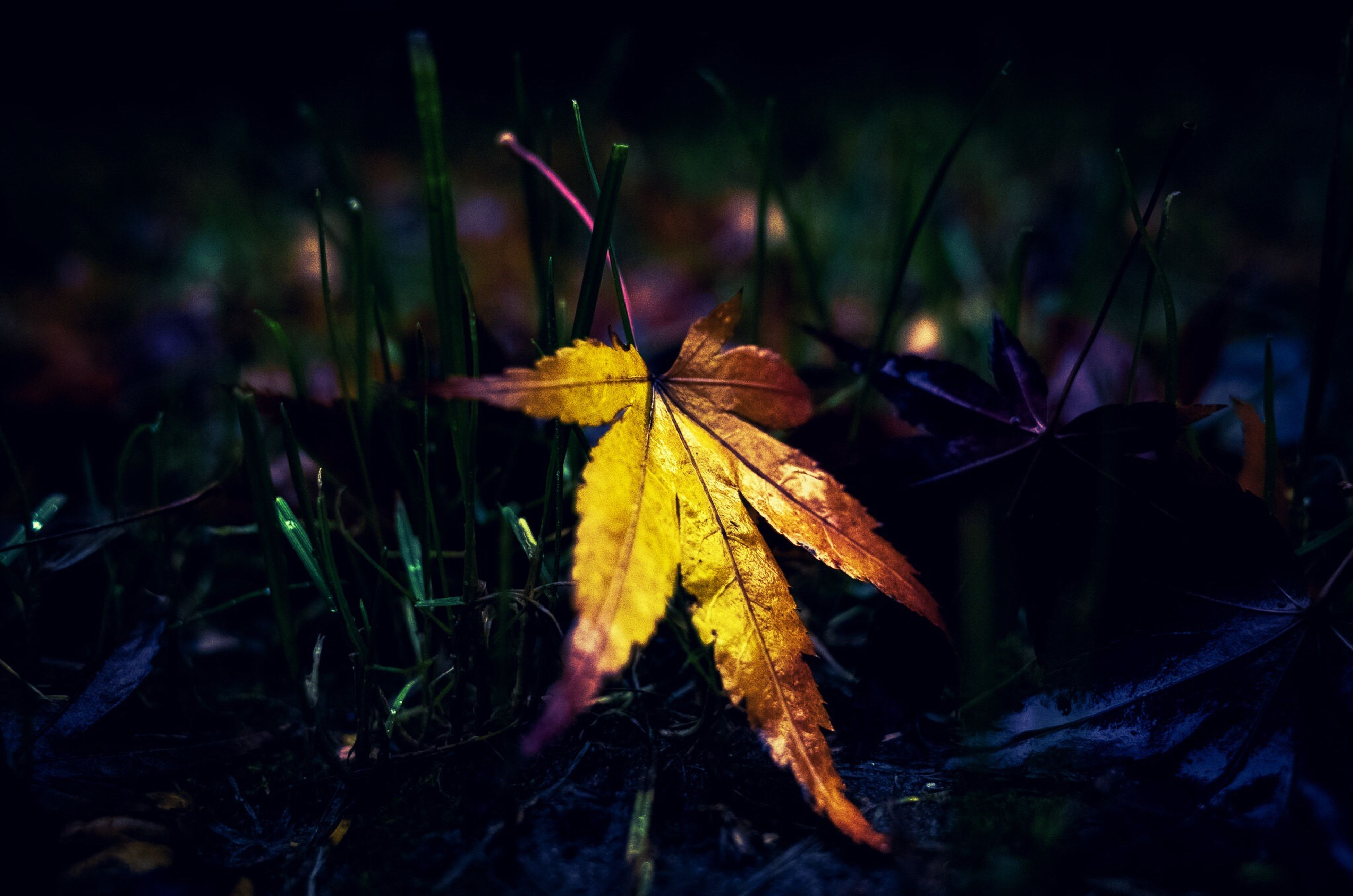 leaf, autumn, focus on foreground, dry, close-up, change, leaves, plant, nature, season, selective focus, growth, leaf vein, fragility, stem, outdoors, no people, day, beauty in nature, maple leaf