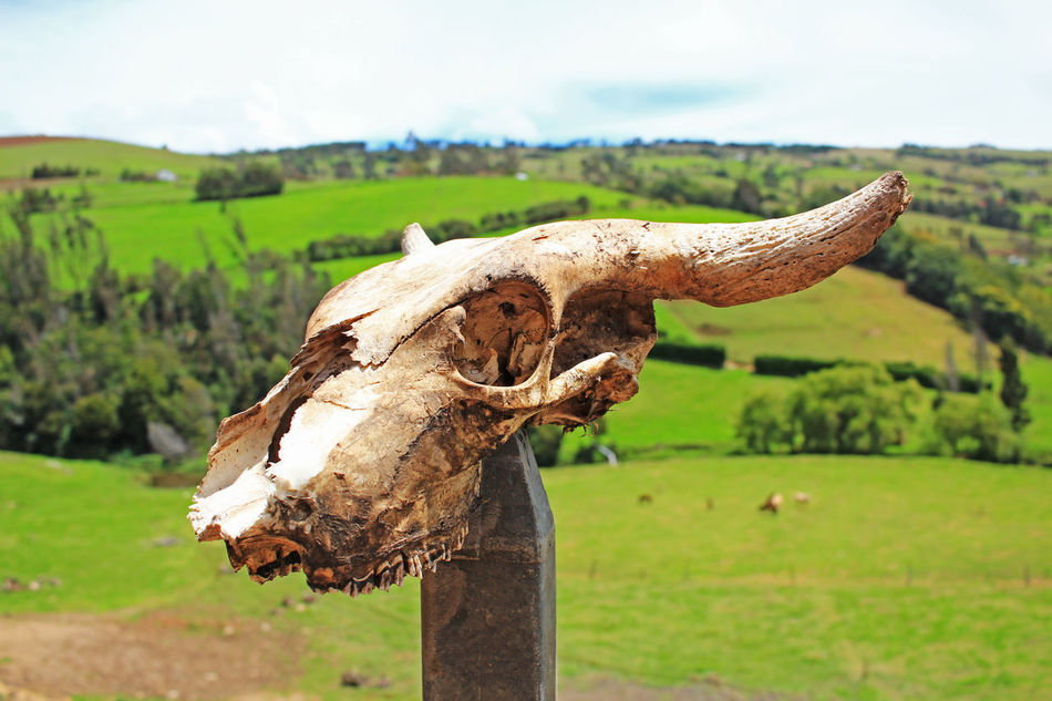 Animal Animal Head  Beauty In Nature Close-up Cow Cow Skull Day Field Focus On Foreground Grass Grassy Green Green Color Growth Landscape Mountain Nature No People Non-urban Scene Outdoors Selective Focus Skull Sky Tranquil Scene Tranquility