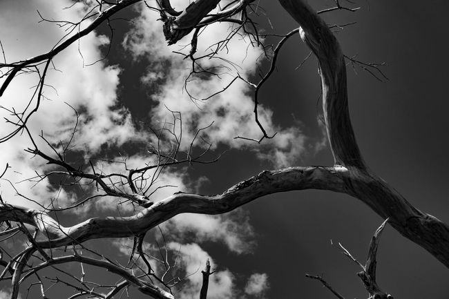 The cotton wood tree that almost killed me. Tucson Az Blackandwhite Photography Photography Cottonwood Deadtree Spooky Trees TheNightmareBeforeChristmas Eyemphotography Thephotographer Ruraldecay Takingphotos Simplephotography Downtoearth Outdoor Photography Justwalkingby Streetphotography Simplepleasures Beautyisintheeyeofthebeholder Mypointofview Eye4photography  Getting Creative Lookingup TreePorn Tree And Sky