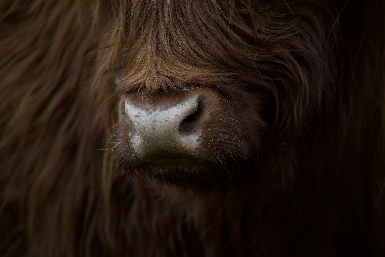 Animal Hair Animal Head  Animal Themes Close-up Day Domestic Animals EyeEm Best Shots EyeEm Nature Lover Hofladen Uhlenhof Mammal Nature Nikon No People One Animal Outdoors Pets Schottisches Hochlandrind The Great Outdoors - 2017 EyeEm Awards
