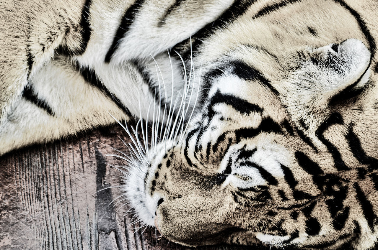 Close-Up Of Tiger Resting On Boardwalk