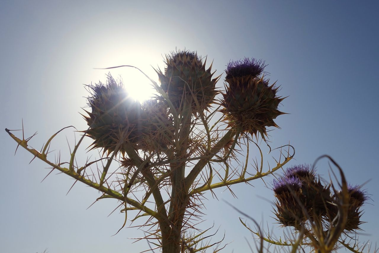 growth, nature, flower, low angle view, clear sky, outdoors, sky, plant, beauty in nature, day, no people, fragility, thistle, freshness, close-up