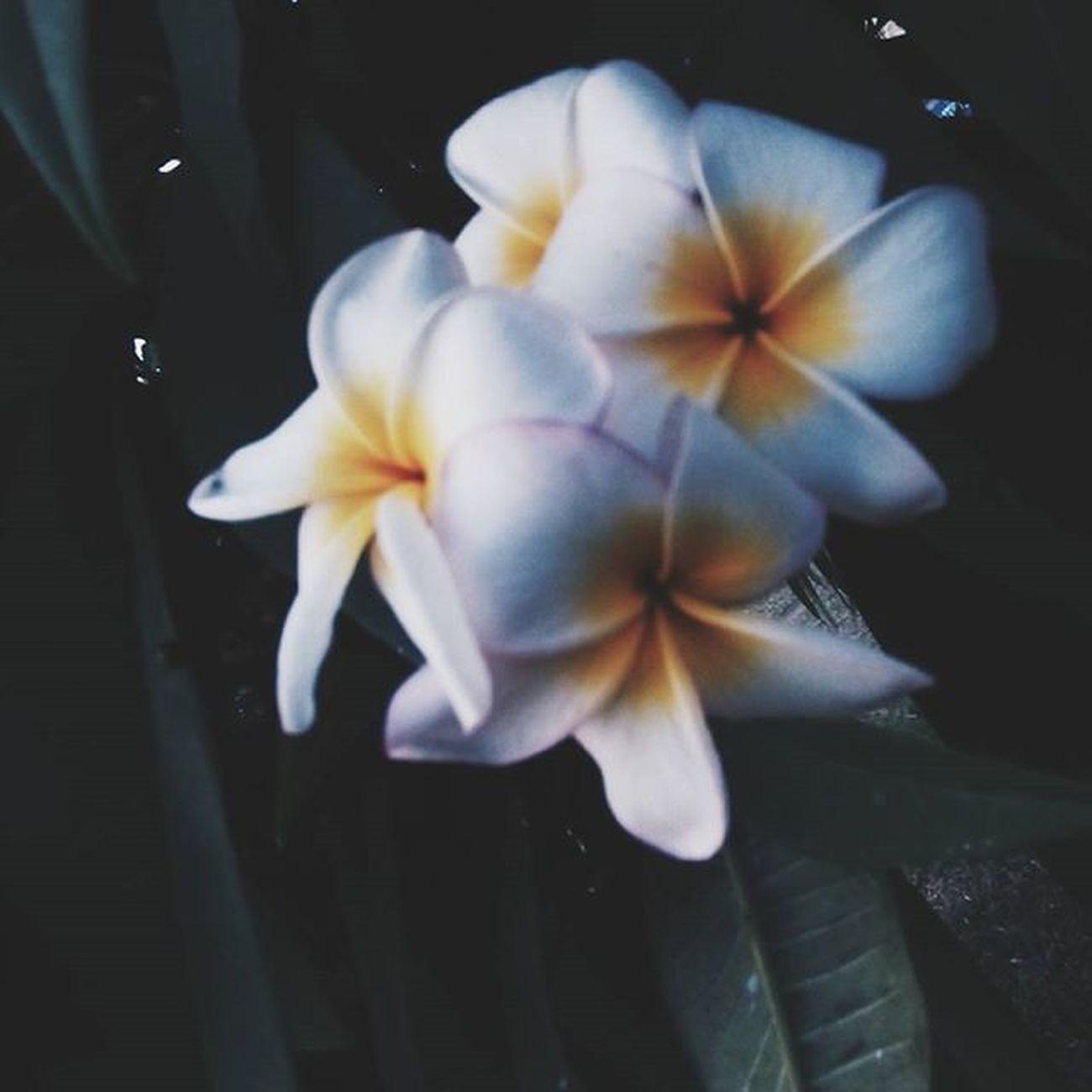 Calachuchi flower. 🌸 VSCO Vscocam Vscoflower Flower Vscofeature VSCOPH Vscophilippines
