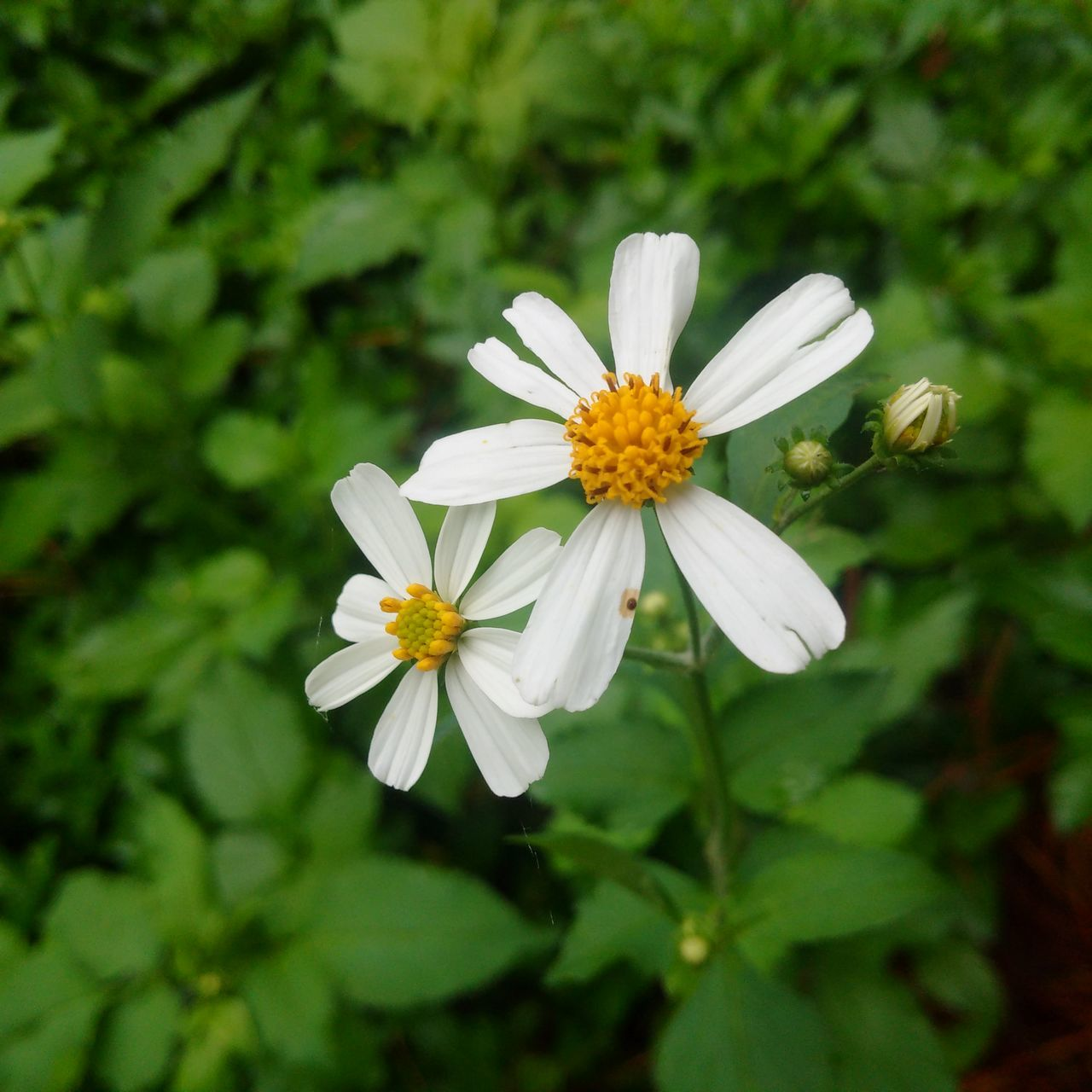 flower, nature, petal, fragility, white color, growth, plant, beauty in nature, flower head, freshness, no people, blooming, close-up, outdoors, day