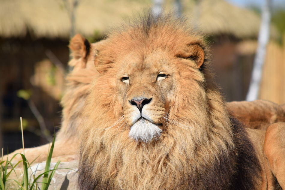 lion Animal Themes Animals In The Wild Close-up Day Feline Focus On Foreground King Lion Lion - Feline Mammal No People One Animal Outdoors Portrait Powerful Relaxation Rock Strong