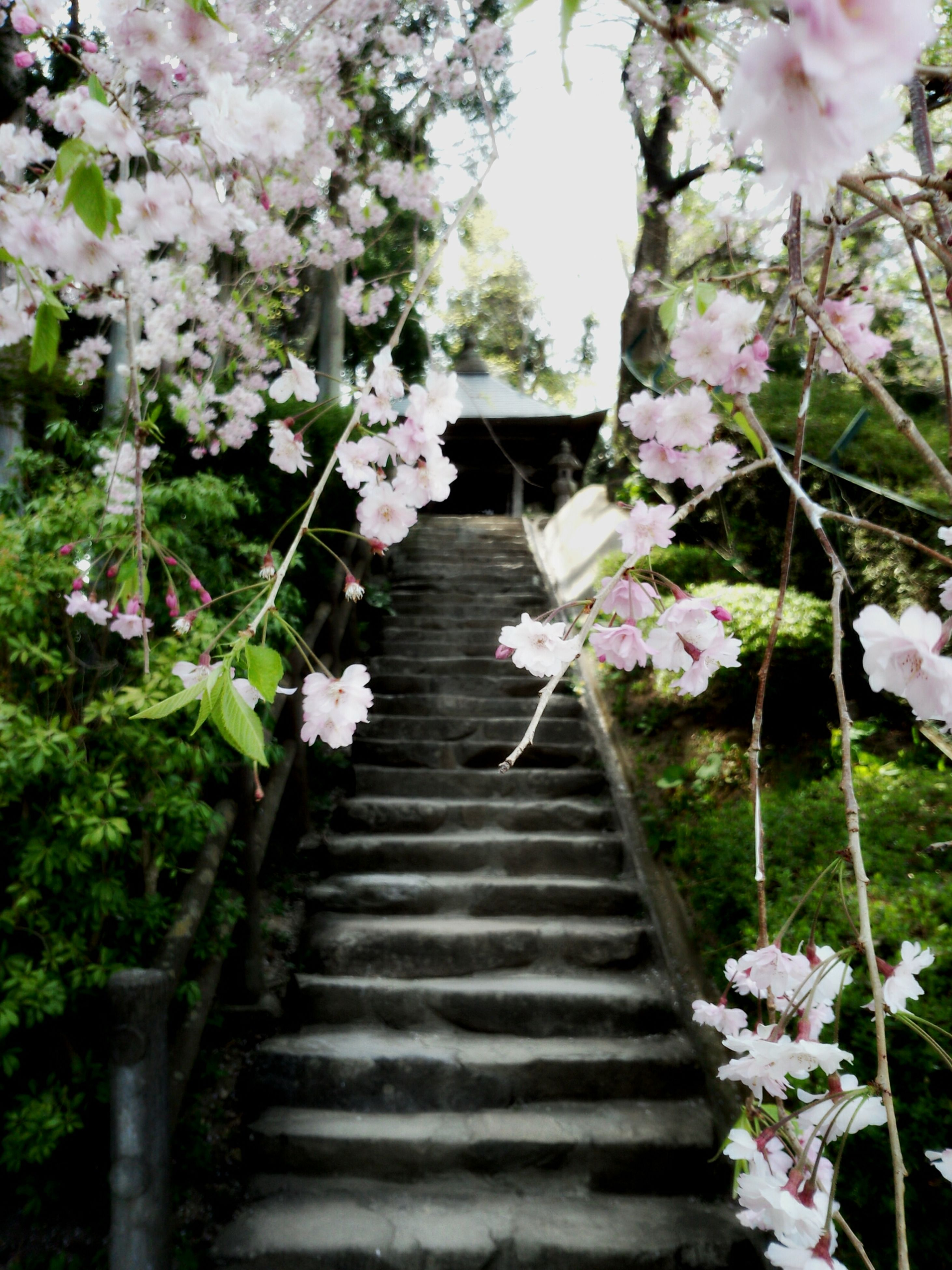 flower, freshness, growth, fragility, plant, blossom, nature, beauty in nature, tree, steps, branch, blooming, pink color, in bloom, petal, the way forward, built structure, steps and staircases, staircase, railing