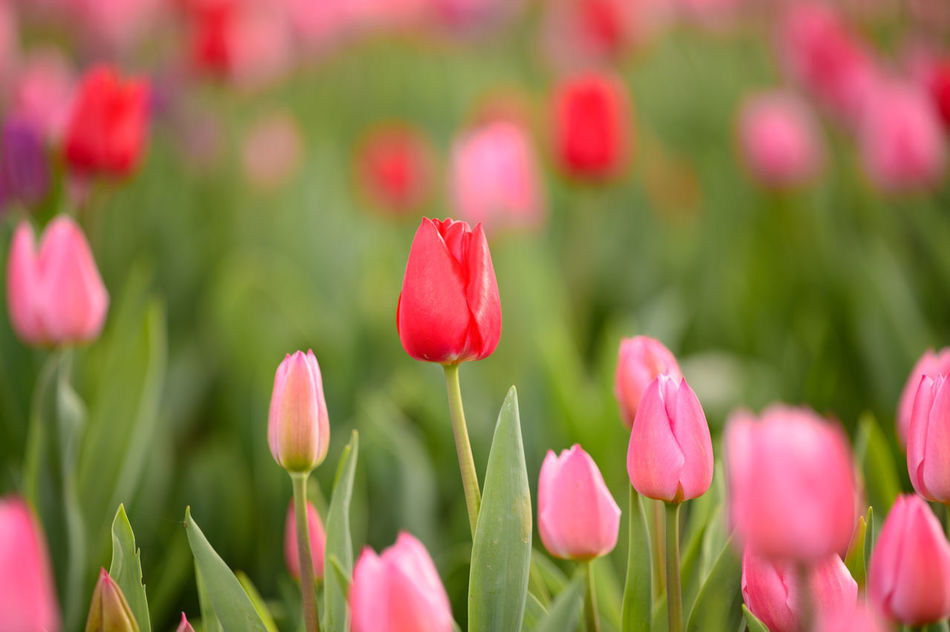 Beautiful stock photos of tulip, Beauty In Nature, Blooming, Botany, Day