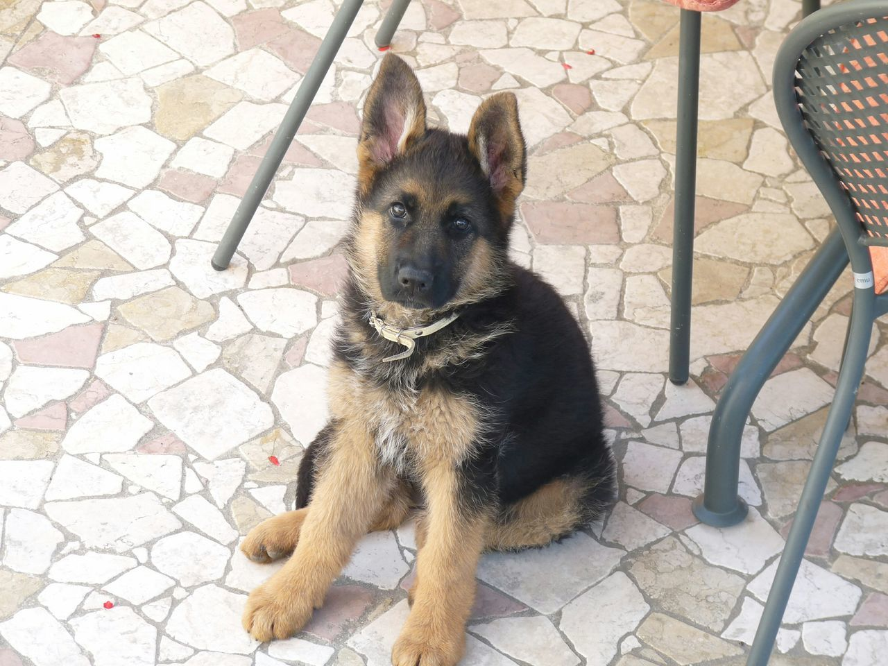 Beautiful stock photos of german shepherd, Animal Themes, Chair, Day, Dog