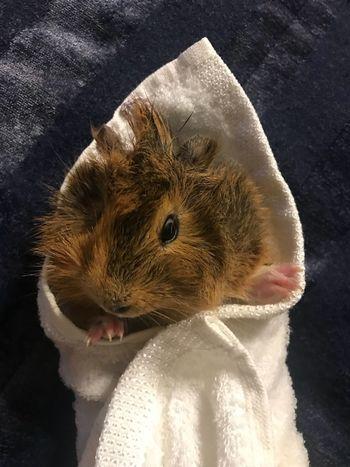 Ginepig bath Ginepig One Animal Animal Themes Indoors  Mammal Close-up No People Hedgehog