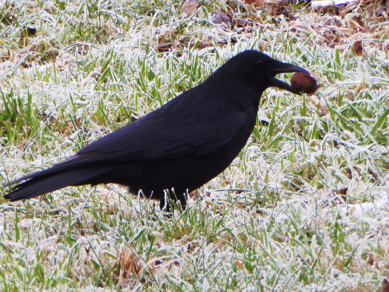 Crow Playing For My Friends 😍😘🎁 Animals In The Wild Brrrrrrrrr❄❄❄❄ Early Bird Beauty In Nature Animal Themes Frozen Ground Beauty In My Every Day Life Frosty ⛄ Cold Outside ❄⛄  Wintertime ⛄ On My Way To Work Close-up Crowlovers Animal Wildlife Nature Enjoying The View