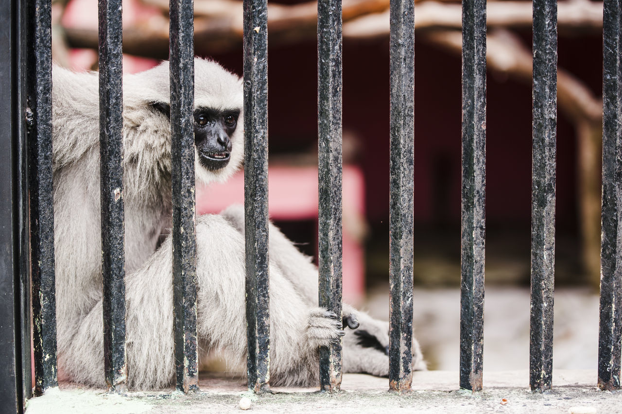 Beautiful stock photos of monkey, Animal Themes, Animal Wildlife, Animals In Captivity, Cage