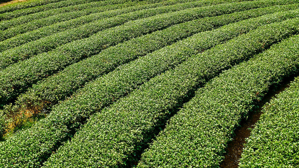 Agriculture Beauty In Nature Crop  Day Farm Field Food And Drink Freshness Green Color Green Tea Growth Healthy Eating Healthy Lifestyle Hill In A Row Land Landscape Nature Outdoors Pattern Plant Rural Scene Scenics Summer Tea Crop