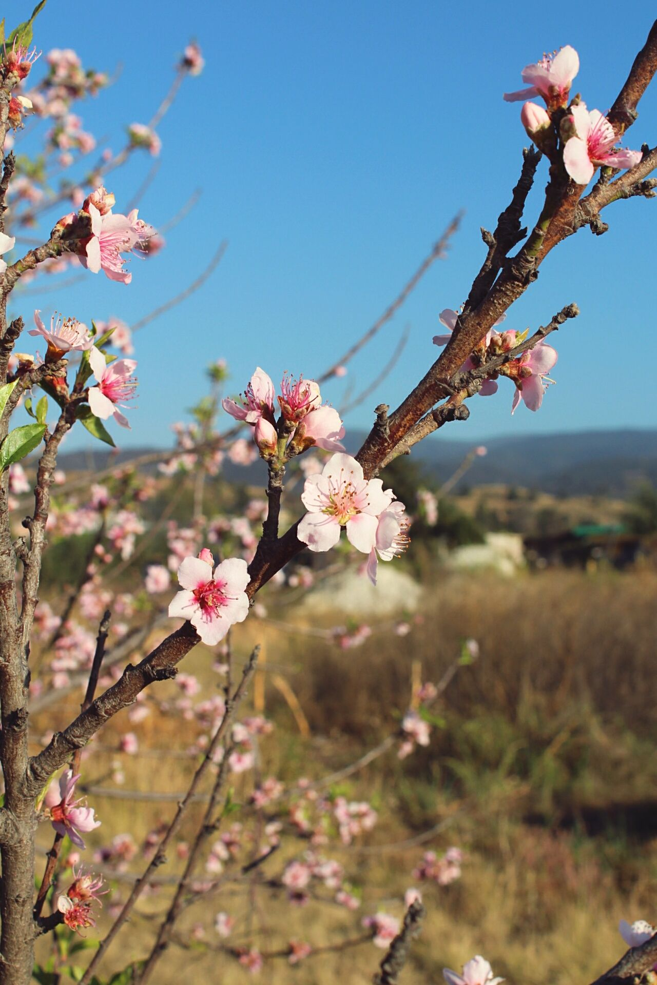 Paisaje. Flower Blossom Springtime Almond Tree Nature Pink Color Tree Close-up Outdoors Beauty In Nature Scenics Fragility Branch No People Lifestyles Illuminated Freshness Plant Beauty In Nature Nature Pink Backgrounds Flower Head Day Sky