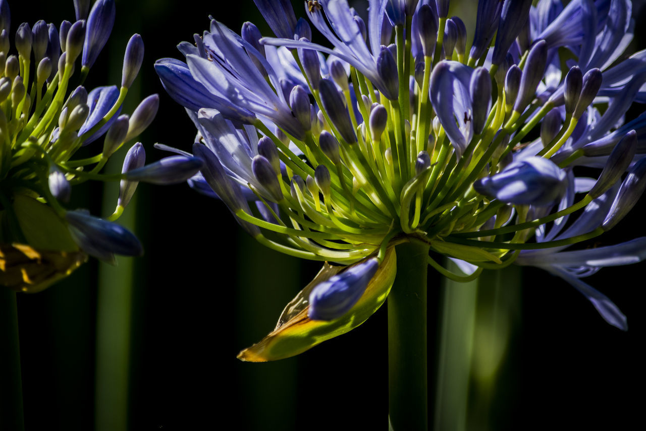 Real Jardín Botánico de Madrid Agapanthus Beauty In Nature Black Background Blossom Blue Close Up Close-up Flower Focus On Foreground Fragility Green Color Madrid, Spain Nature Petal