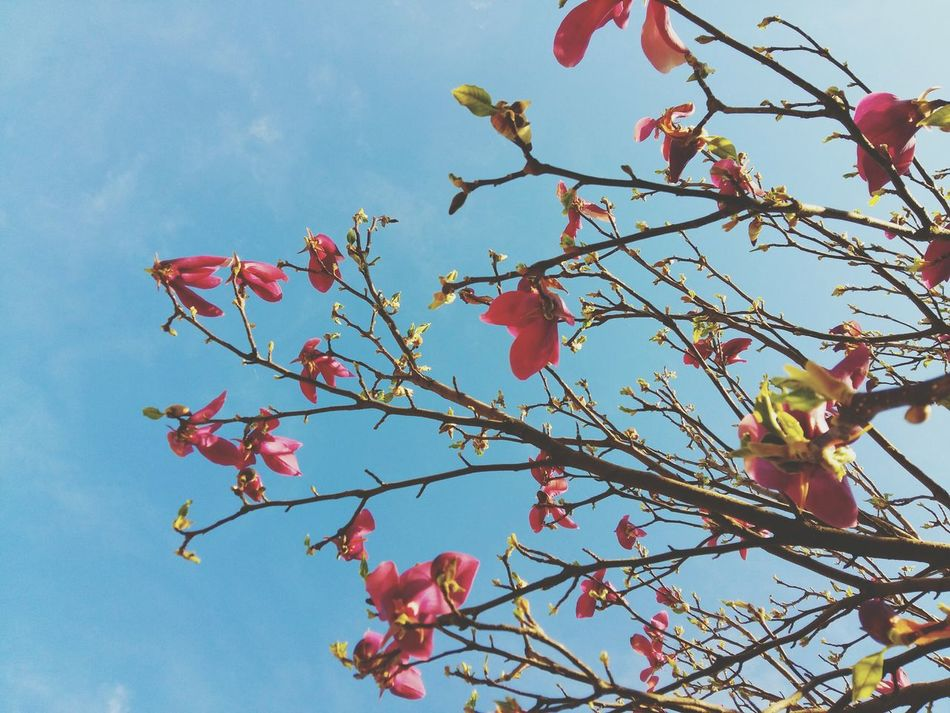 Beautiful stock photos of magnolia, , Beauty In Nature, Blossom, Cloud