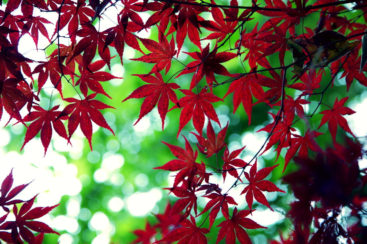 Autumn Beauty In Nature Bokeh Branch Change Day Green Growth Leaf Leaves Maple Maple Leaf Maple Tree Nature No People Outdoors Red Red Tree