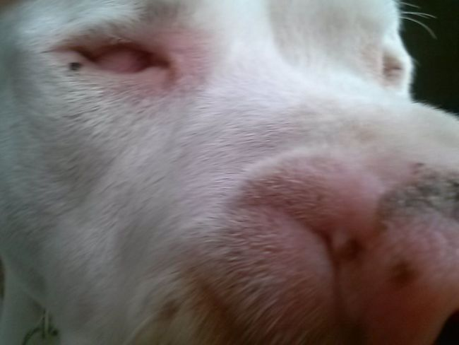 Buster, my blind and deaf Pit Bull. Pit Bull Animals Dog Rescue Dog Blind And Deaf Dog White Dog Shelter Dogs Love No Eyes Courage I Love My Dog I Love My Dog Dogo Argentino Argentinien Mastiff Buster Deaf Blind Deaf Dog Blind Dog