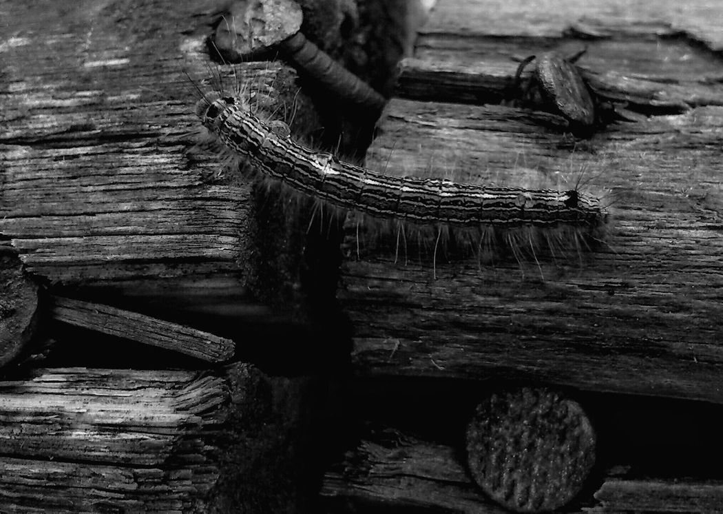 Bnw_rust Bnw_friday_eyeemchallenge Rusty Nails Caterpillar Old Wood Macro_collection Black And White Collection  Bnw_society Ladyphotographerofthemonth Showcase March