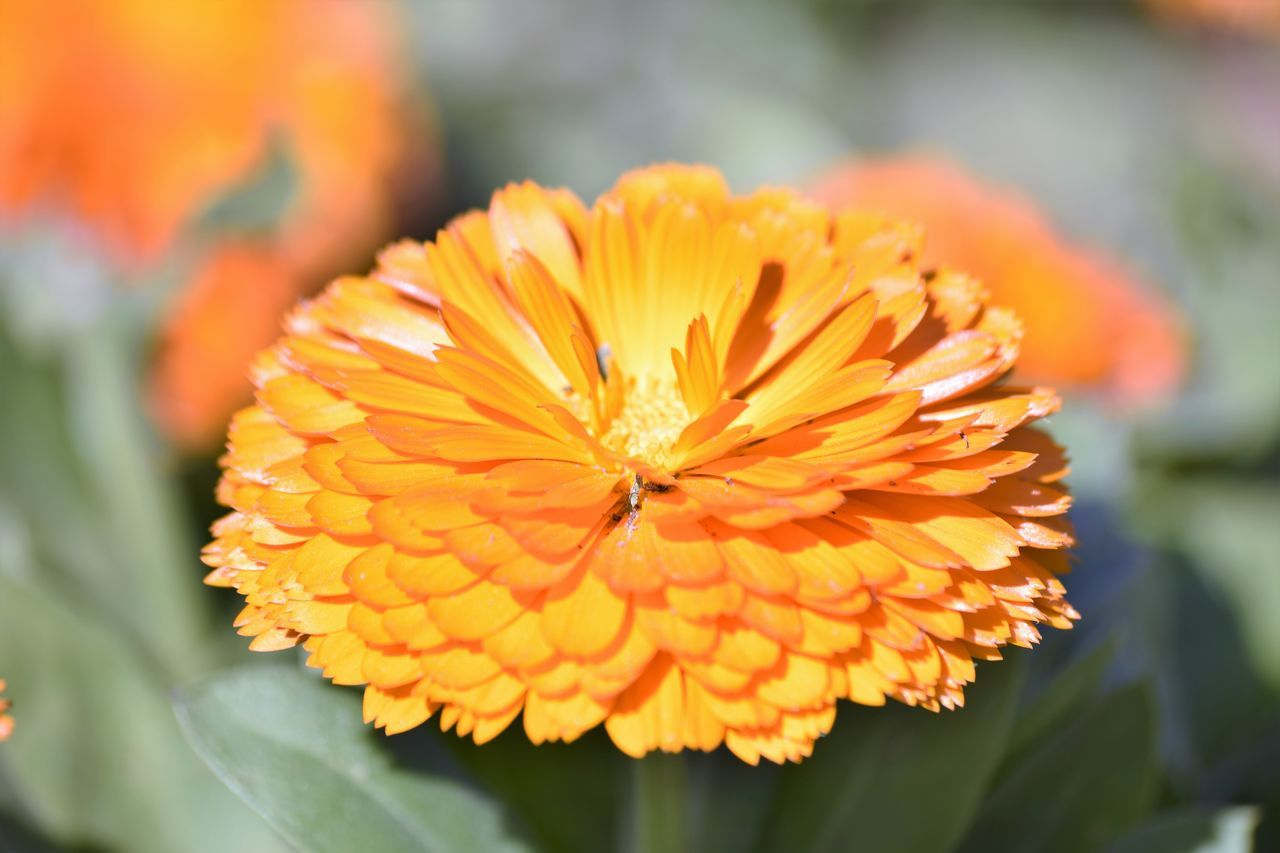 Beauty In Nature Close-up Dahlia Day EyeEm Nature Lover Flower Flower Head Focus On Foreground Fragility Freshness Growth Nature No People NoEdits  Orange Color Outdoors Petal Plant