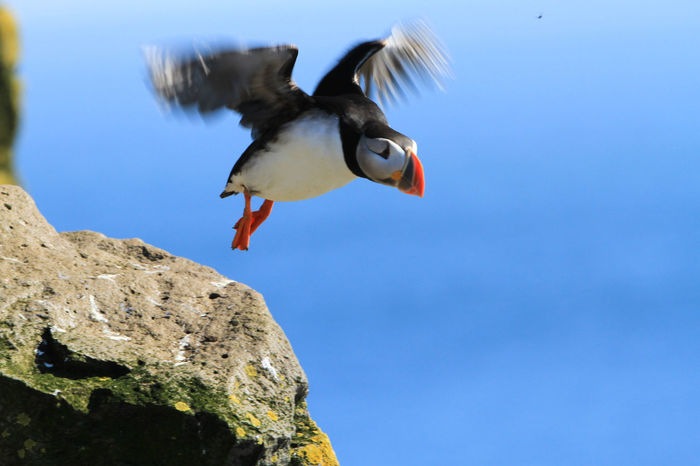 Animal Themes Animals In The Wild Bird Birds Birdwatching Day Nature No People One Animal Outdoors Puffin Puffins