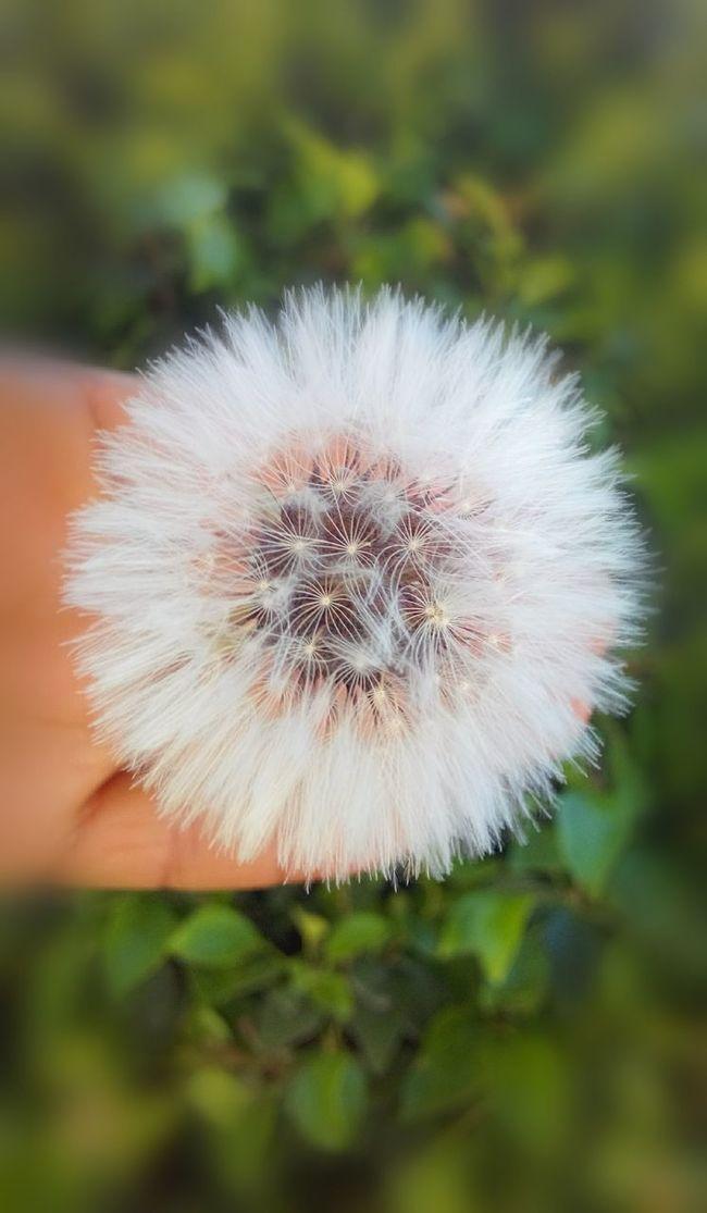 Grains dandelion flower ......Hope of life is very beautiful Eye Em Nature Lover Streamzoofamily Eyeem Tunisia EyeEmBestPics