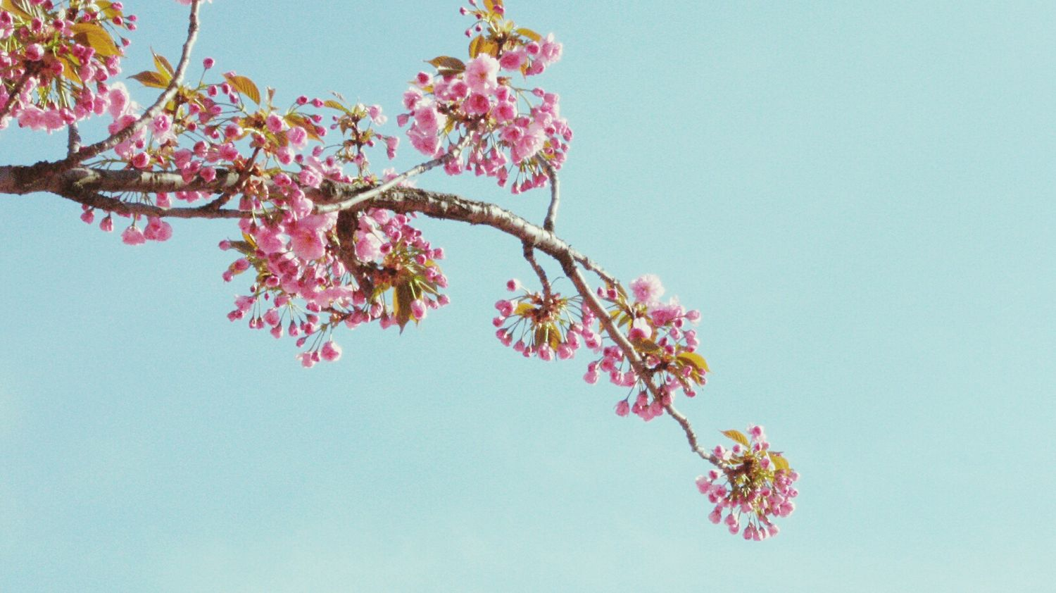 お花見ー♪ 桜 Spring Tree_collection  Nature_collection Blossom TreePorn Sakura2016 Pink Flower Springtime Soft Light
