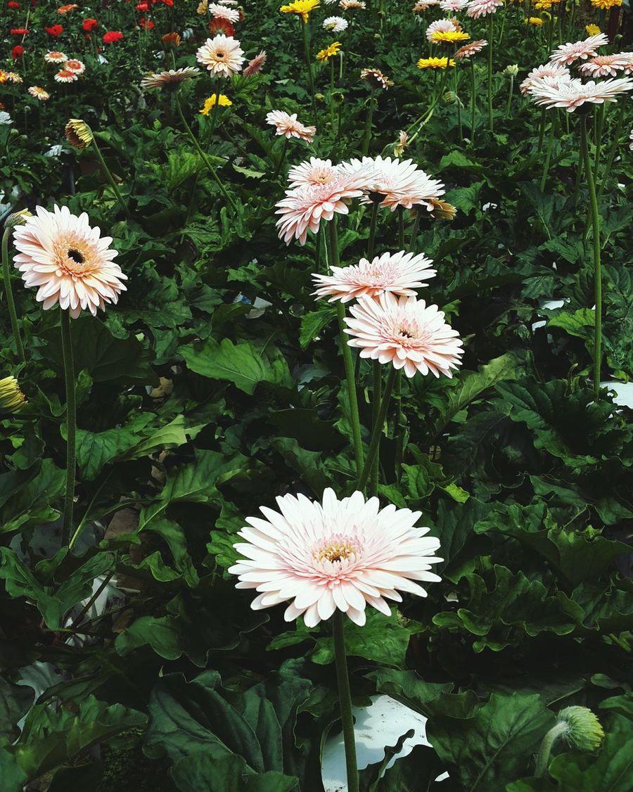 Daisy flower in the garden. Peachdaisy Flowersinthegarden DaisyFlowers Daisy Flowers In Bloom Flowers Flowersforfriends Love