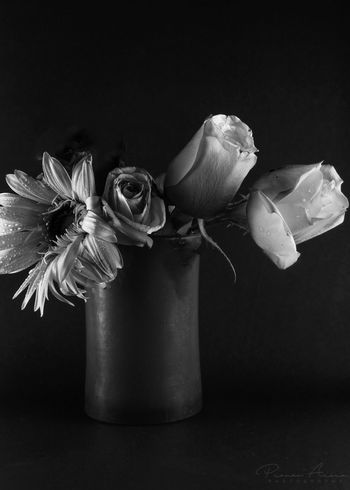 Indoors No People Flower Studio Shot Ribbon - Sewing Item Close-up Black Background Fragility Nature Flower Head Day Black Background Blackandwhite Low Angle View Nightphotography Blackandwhitephotography Rosé Flower Sunflower Flowers grow nearby Awaits every sunrise Fall asleep at night....