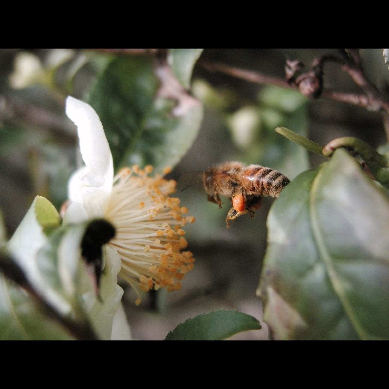 _Camellia sinensis_ Tea Plant Flowers Honey Bee Pollinators