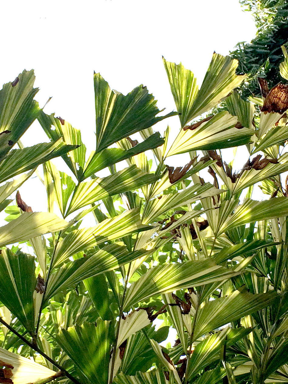 Beauty In Nature Close-up Clustering Fishtail Palm Fishtail Palm Palm Green Color Growth Jaggery Pal Leaf Natural Pattern Outdoors Palm Tree Palm Trees Plant Plants Scenics Sunny