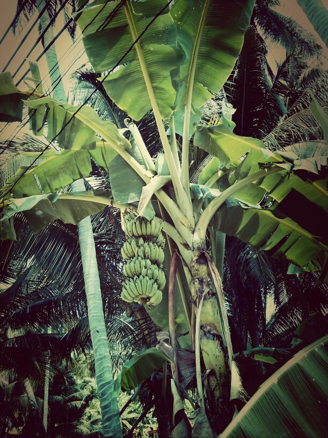 Banana Kus In Thailand