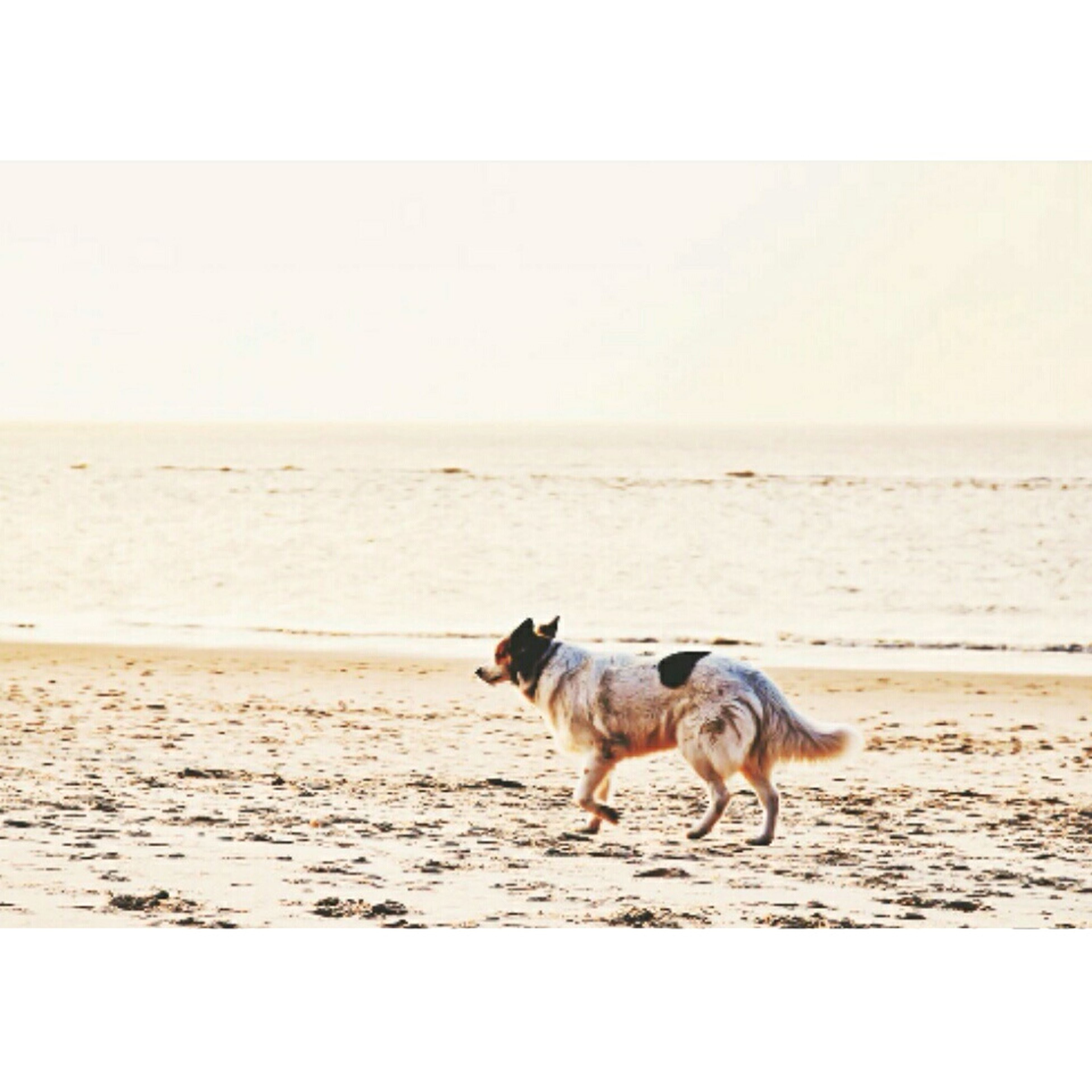 beach, sand, animal themes, sea, dog, one animal, horizon over water, shore, domestic animals, mammal, pets, water, transfer print, full length, nature, auto post production filter, copy space, tranquility, tranquil scene, sky
