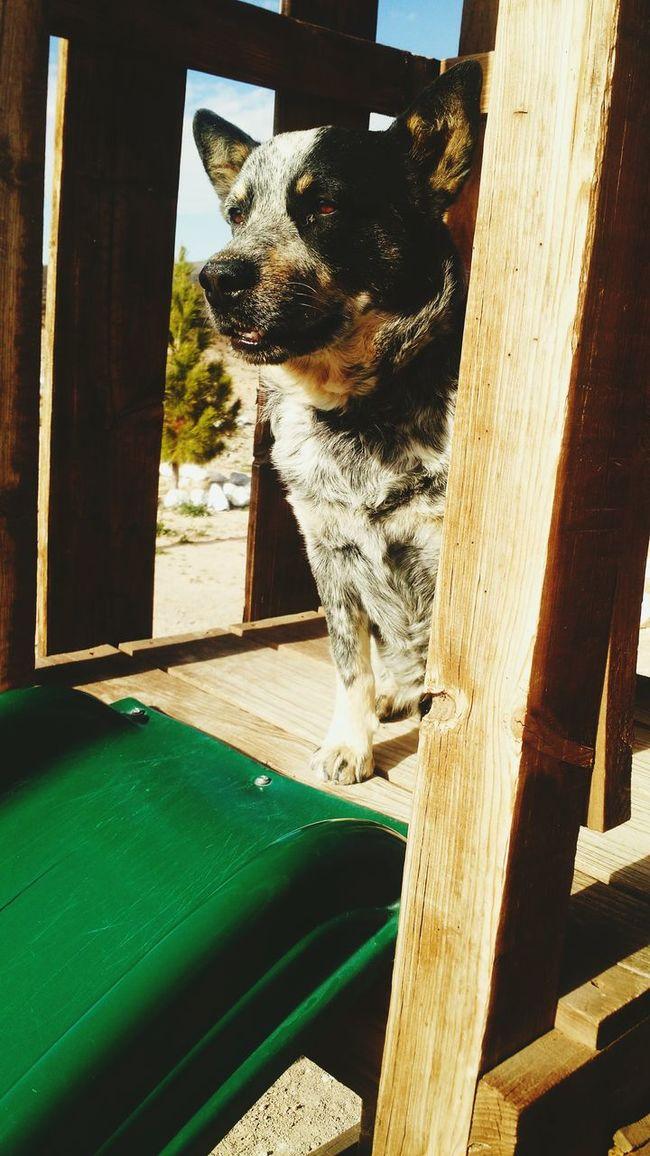 Blue Heeler My Loyal Companion <3