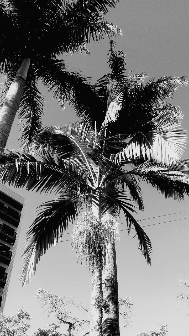 palm tree, tree, low angle view, tree trunk, growth, sky, palm frond, nature, outdoors, clear sky, no people, branch, day, beauty in nature