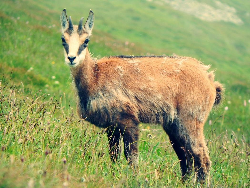 Looking At Camera Little Mountain Goat Sucha Cutie Natural Habitat Environment Amazing