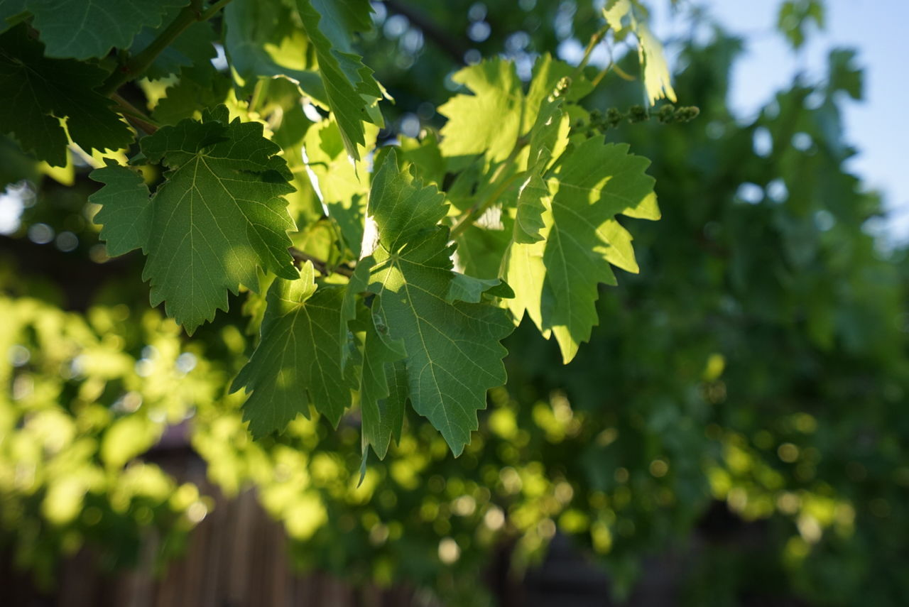 ©Amy Boyle Photography Agriculture Beauty In Nature Close-up Day Focus On Foreground Food And Drink Freshness Green Color Growth Healthy Eating Leaf Nature No People Outdoors Plant Sunlight Tree Vineyard