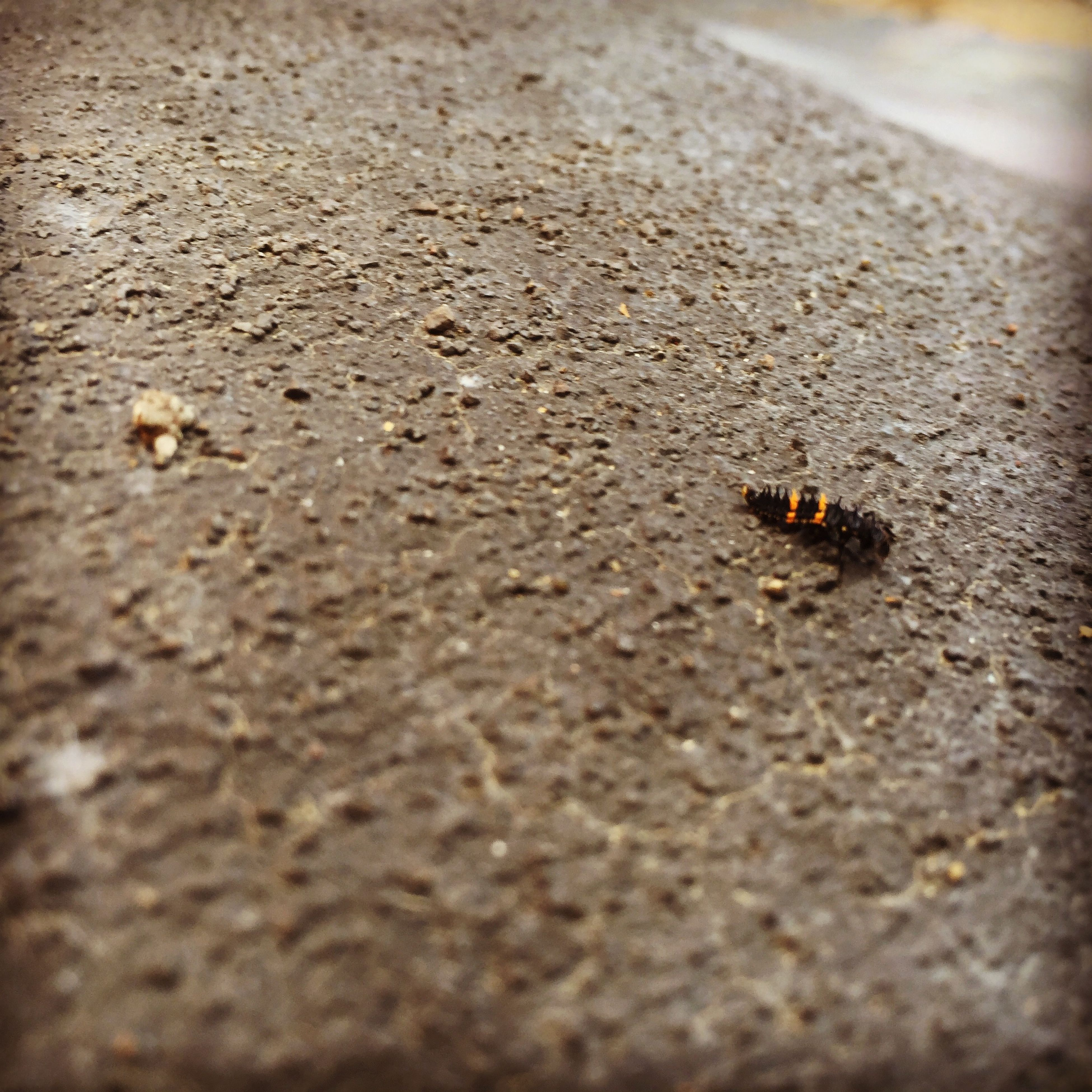 animal themes, insect, one animal, selective focus, animals in the wild, wildlife, high angle view, surface level, street, close-up, road, asphalt, day, textured, outdoors, no people, nature, sand, ant, brown