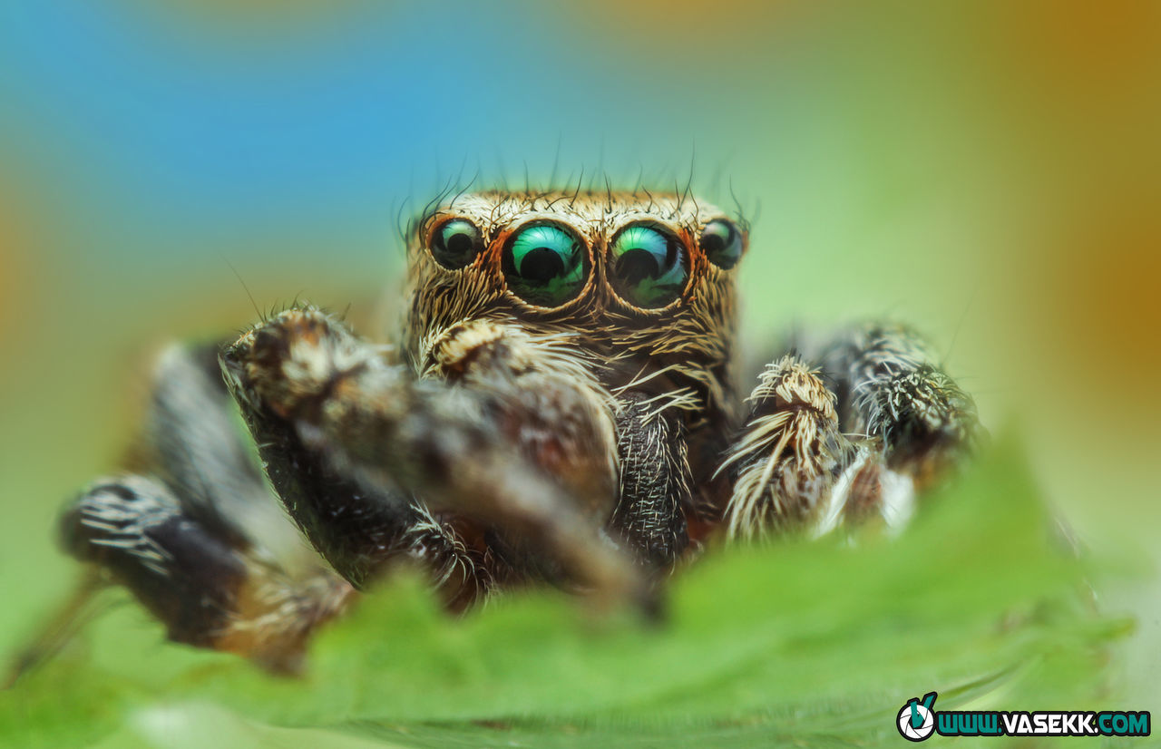 spider, jumping spider, one animal, selective focus, animal wildlife, animals in the wild, animal themes, close-up, no people, day, nature, outdoors