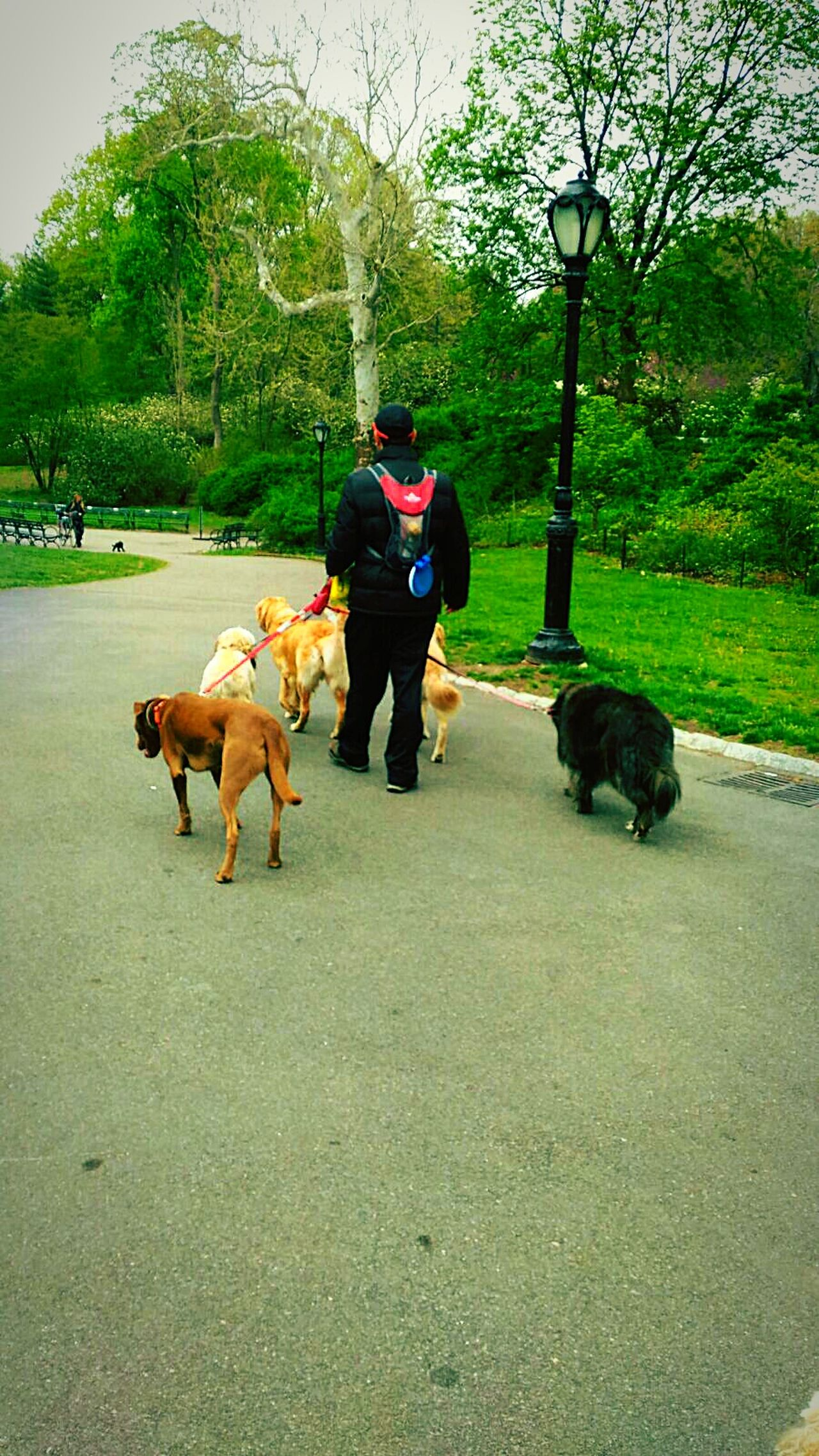 Up Close Street Photography Enjoying Life New York New York City New York Life EyeEm Best Shots EyeEm Best Edits Eyeem Market Walking Around Dogs Of EyeEm Dog Love EyeEm Animal Lover Hello World Check This Out Taking Photos Walking With The Dog Walking The Dog Love Dogs Dog Dog Walker Pitbull Central Park Central Park - NYC Showing Imperfection