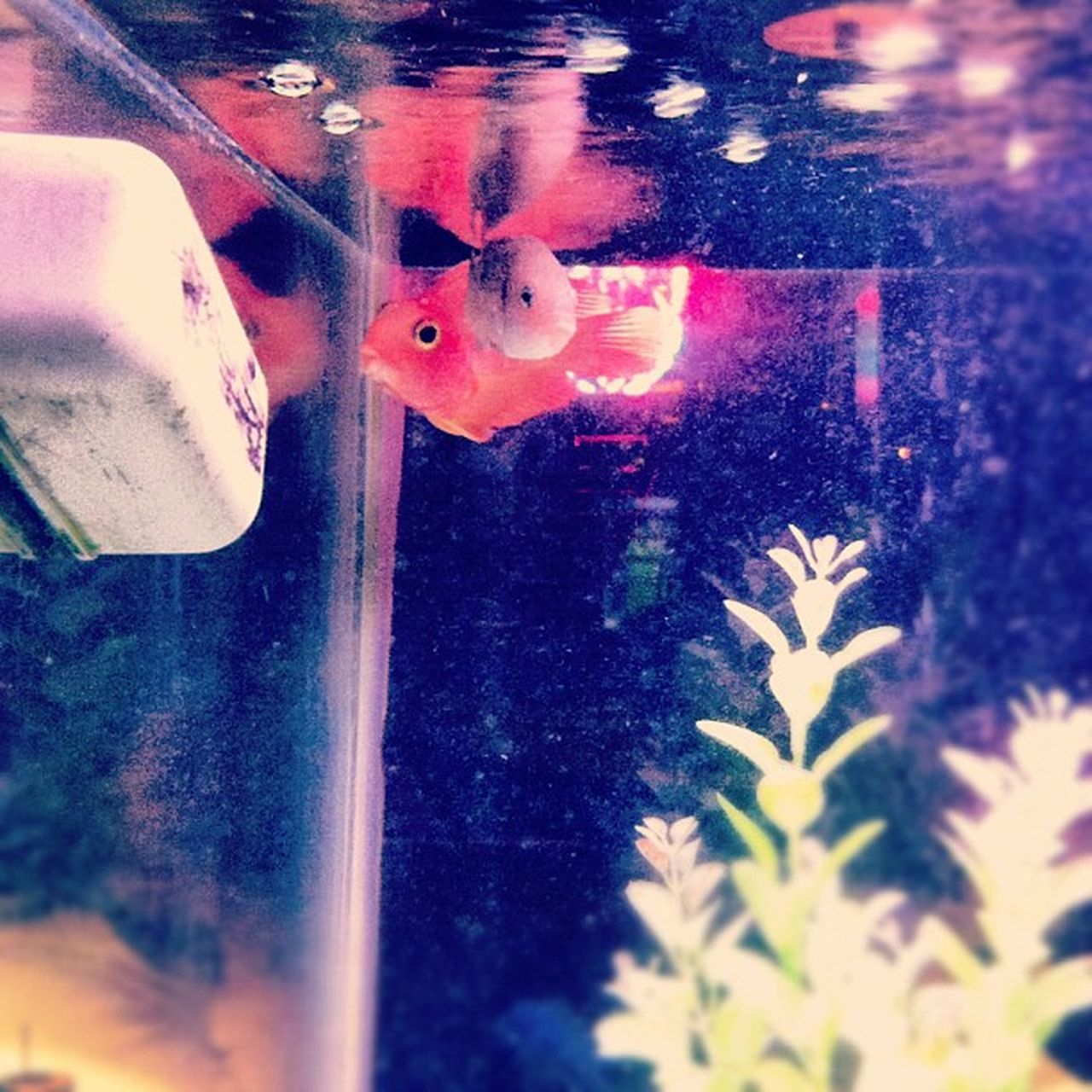 We're giving this fish #3 #days to #live. He's lookin' kinda #sketchy. Orange Therustyknot Fish Endoftheline Goldfish 3days Tank NY Westside 3 Fishtank NYC Manhattan Bar Newyork Days  Sad Newyorkcity Life Sketchy Dying Live Floater