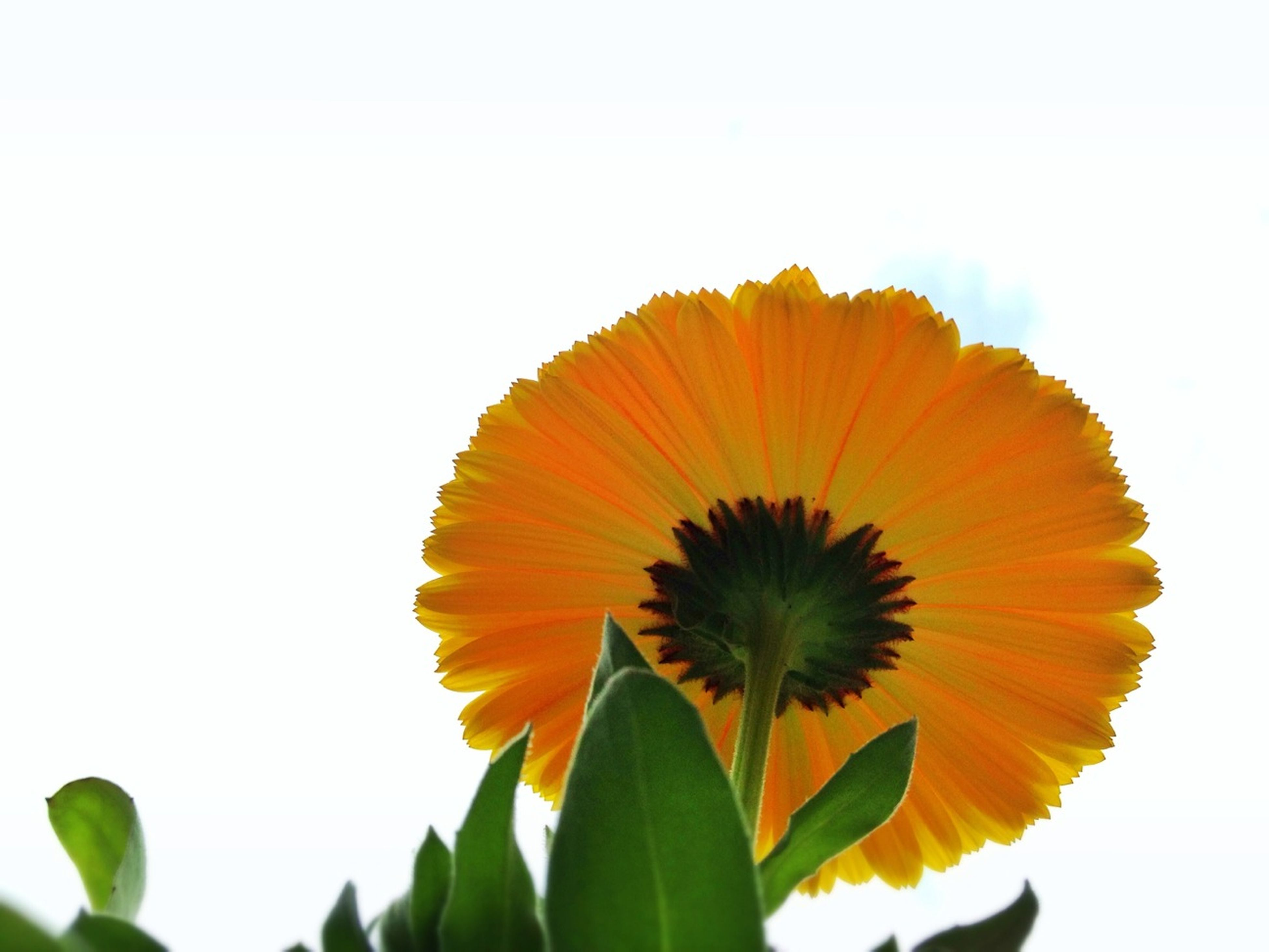 flower, fragility, petal, freshness, flower head, growth, beauty in nature, clear sky, nature, copy space, yellow, leaf, close-up, plant, single flower, sunflower, low angle view, orange color, blooming, white background
